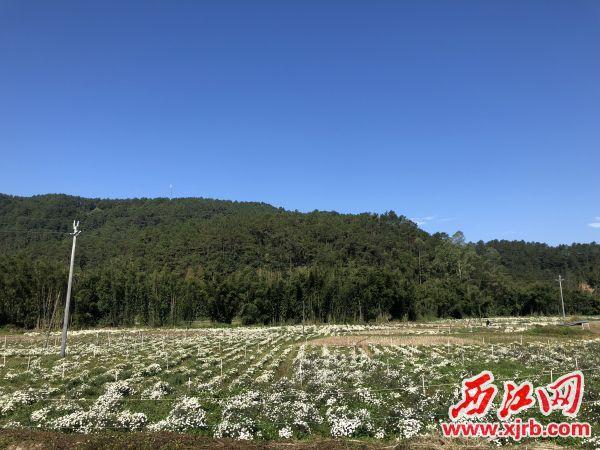 三围村菊花种植基地。