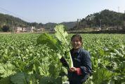广宁县北市镇国光村盘活闲置农田发展冬种芥菜 特色种植拓宽精准扶贫路