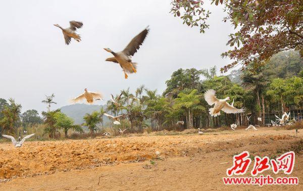 星湖国家湿地公园举行百鸟齐飞、展翅迎宾活动助兴新春。 澳门巴黎人娱乐记者 梁小明 摄