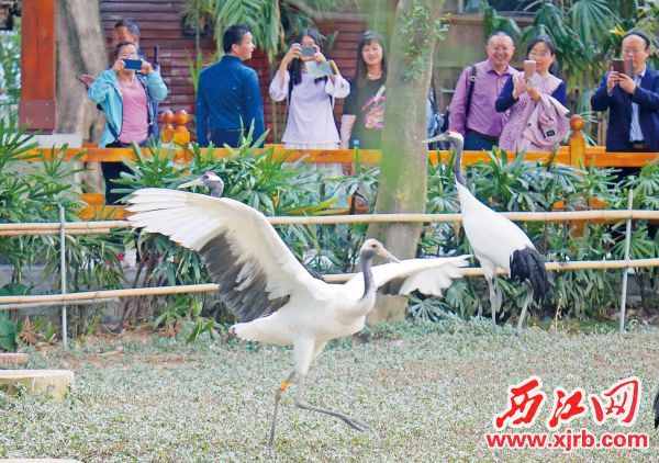 星湖丹顶鹤。 西江日报记者 吴威豪 摄