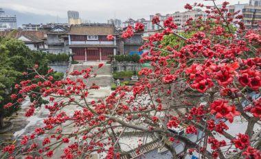 春暖端城 木棉花悄然盛放