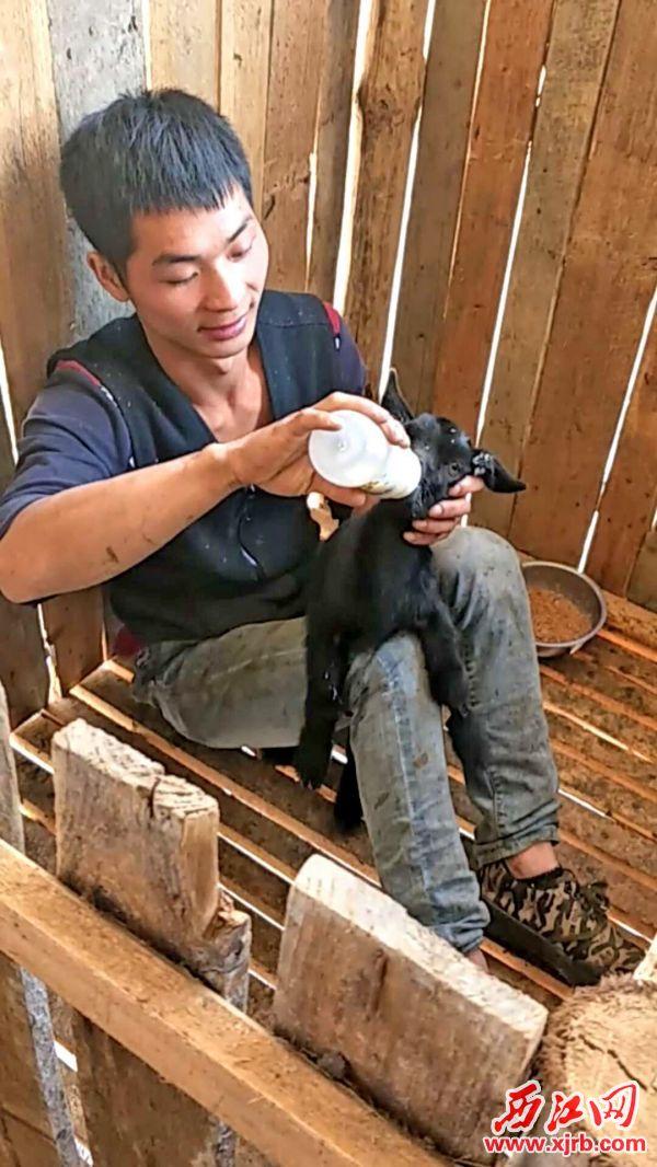 韦操生给小山羊喂食。 西江日报记者 吴威豪 摄