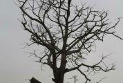 """""""明星木棉树""""  何日花再开  该树位于端州江滨路  与人民南路交界处"""