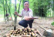 德慶高良鎮6000畝富筍喜豐收