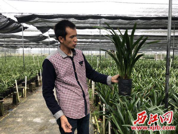 聂园高向记者展示他种植的兰花。 西江日报记者 刘亮 摄