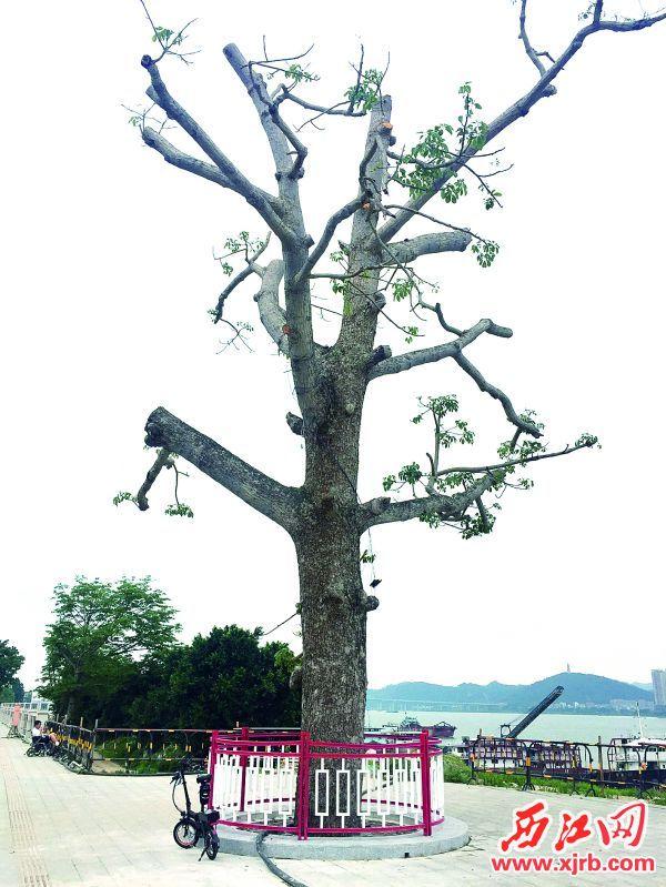 木棉树已得到抢救。 西江日报记者 杨永新 摄