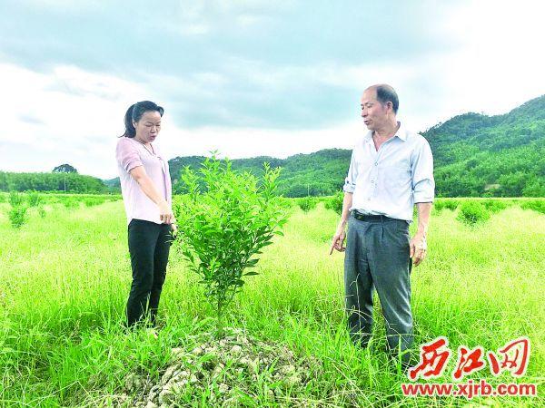 何翠云(左)和關淦全在觀察沙糖桔果苗。 西江日報記者 賴小琴 攝