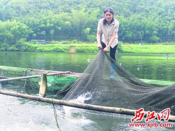 黎敏英从网箱内捞鱼。 西江日报记者 赖小琴 摄