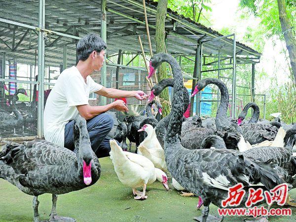 工作人員在喂黑天鵝。 西江日報記者 吳威豪 攝