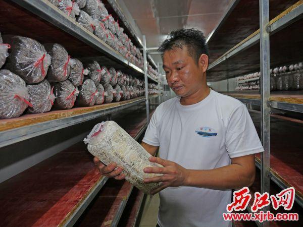 吕有全查看菌菇包发酵情况。 西江日报记者 吴威豪 摄