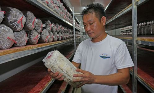 封開縣大洲鎮東坡村委會退伍軍人呂有全 開辦菌菇種植基地帶動群眾致富