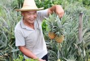 江川神湾菠萝:一份从封开高山送到你餐桌上的甜蜜