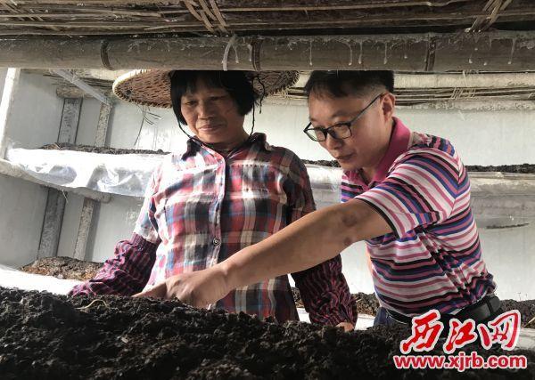 在菌菇种植基地里,刘晓林(右)和帮扶户观察草菇生长情况。 西江日报记者 潘粤华 摄