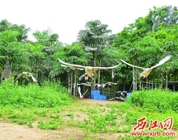 星湖湿地公园开展百鸟放飞表演。 西江日报记者 吴威豪 摄
