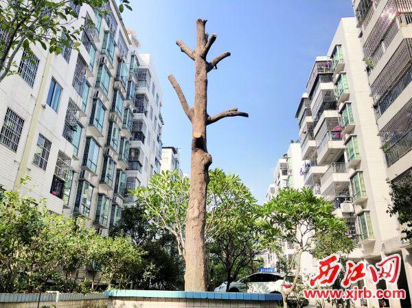 """被修成""""光棍""""的绿化树。 西江日报记者 杨永新 摄"""