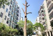 """绿化树成""""光棍""""引争议 小区业主称""""失去绿化美化功能"""",物管称""""吃力不讨好"""""""