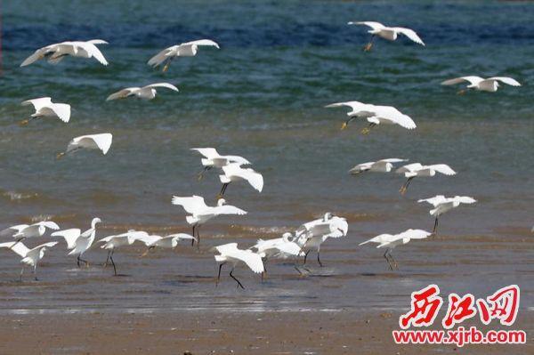 白鹭爱上肇庆的碧水蓝天。 西江日报通讯员 苏科伟 摄