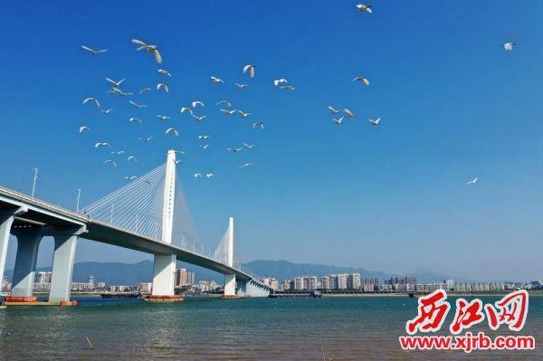 蓝天下,一群白鹭翩翩飞舞于阅江大桥旁的江面上。 西江日报通讯员 苏科伟 摄