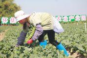 怀集县冷坑镇高水平打造粤港澳大湾区蔬菜专业镇
