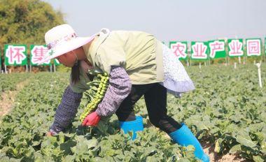 懷集縣冷坑鎮高水平打造粵港澳大灣區蔬菜專業鎮
