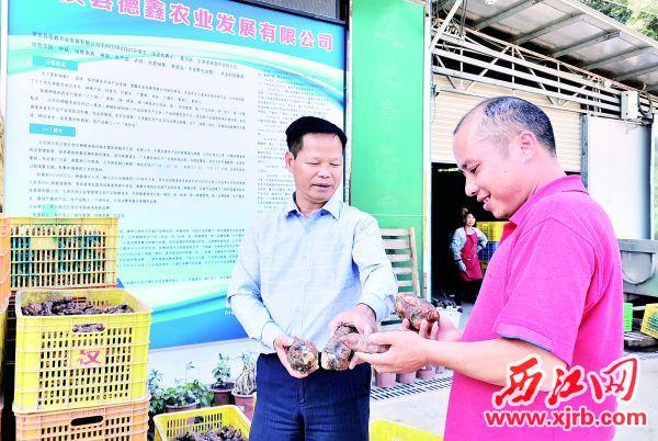黎阳新(左)与种植户交流南药种植经验。 西江日报记者 杨丽娟 摄