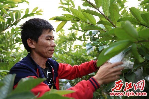 贫困户石剑锋种植的番石榴喜获丰收。 西江日报记者 杨丽娟 摄