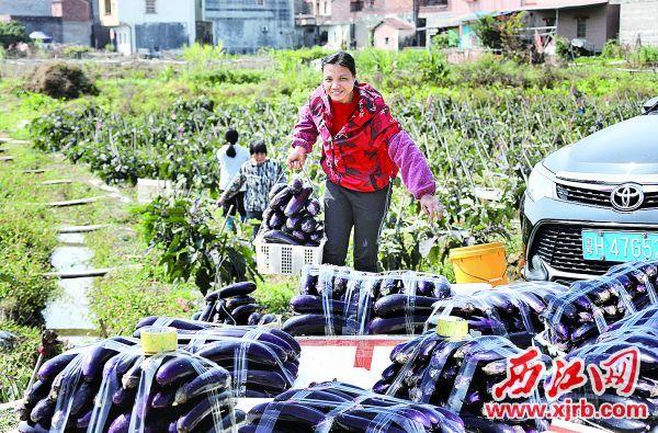 高要区莲塘镇罗勒村茄瓜种植户正忙着将刚收获的新鲜产品装运往城区市场。