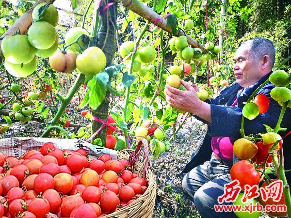 市道德模范人物、乐城镇星星农场场长钟鉴强放弃假日休息,忙着在 田间地头收摘西红柿,为订购的客户送货上门。