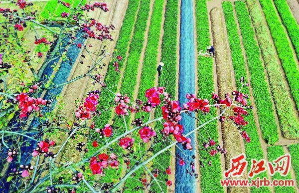 高要區蜆崗鎮菜籃子基地,紅棉競放新苗茁壯。我市各地一手抓疫情防控,一手抓春耕生產,鄉村處處呈現出生機勃勃的景象。