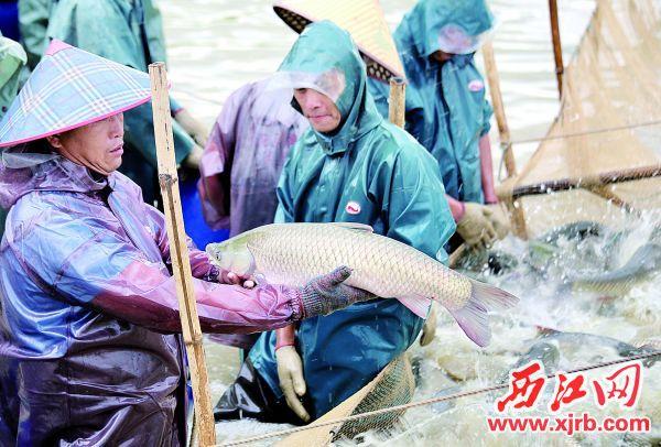經銷商紛紛來收購鮮魚,解決了滯銷問題。 西江日報記者 楊永新 攝