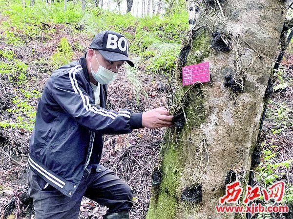 大南药红光种植基地负责人郭柯锋正检查石斛生长情况。 青青草a免费线观a记者 刘浩辉 摄