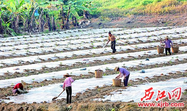 种植专业户在忙着种植木瓜。