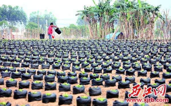 桃二村的村民在精心为粉葛施肥。