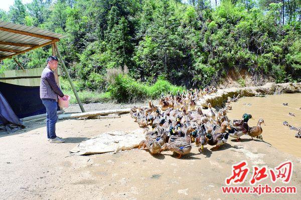 """孔令華正在喂養""""玉米鴨""""。 西江日報通訊員 供圖"""