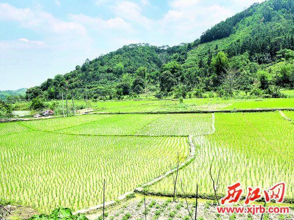 桂村种植的百亩桂香米长势欣欣向荣。 西江日报记者 甘婉怡 摄