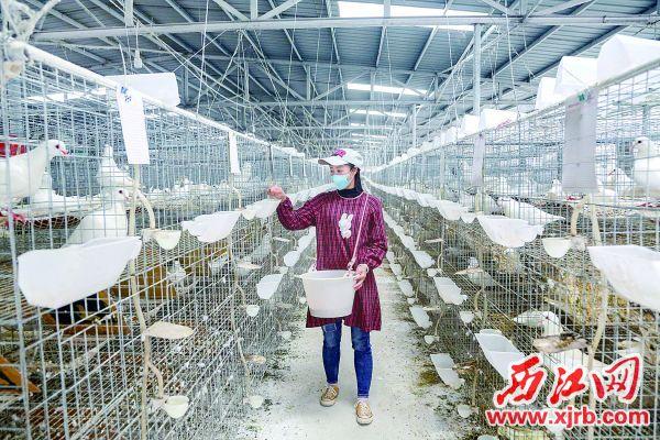 匝村村何氏鸽业养殖农民专业合作增加了村集体和贫困户收入。 西江日报记者 曹笑 摄