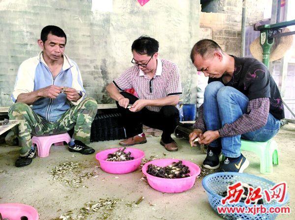 扶貧干部劉曉林(中)和村民在 處理黑皮雞樅菇。 西江日報記者 潘粵華 攝