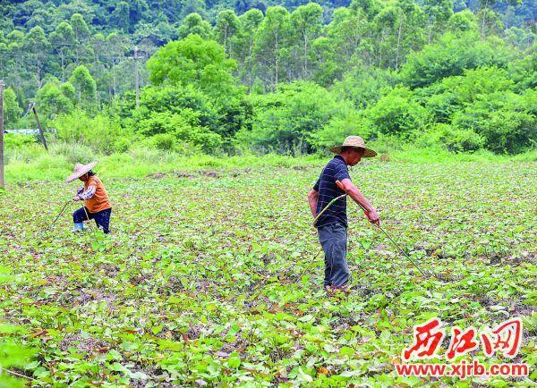 贫困户在三礼村的番薯(黄豆)联合种植示范基地工作。 西江日报记者 曹笑 摄
