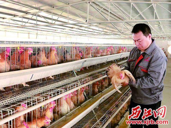 曾華在挑選種雞。 西江日報通訊員 封祖軒 攝
