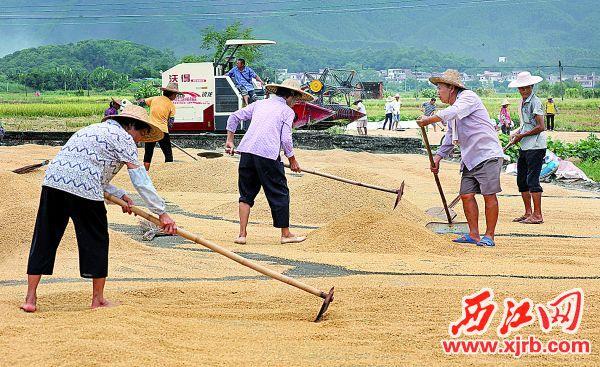 白诸镇凤尾村的村民抓紧有利天时晾晒 稻谷。