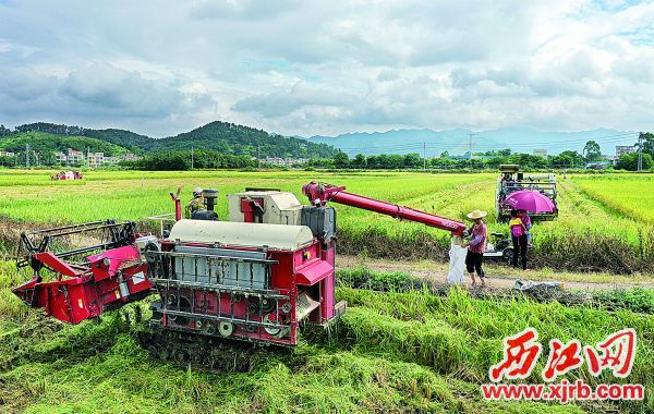 高要区白诸镇施福村一带的稻田金浪翻滚、机 械轰鸣,跨省前来的机械化收割队伍正忙着协助抢 割水稻。