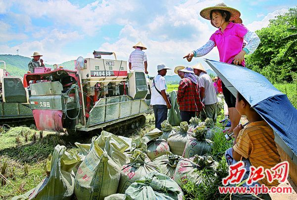 新桥镇的田埂边上,农民在清点、搬运丰收粮。