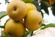 """又甜又好吃!这种""""喝牛奶""""长大的梨,原来是鼎湖这个长寿村种出来的......"""
