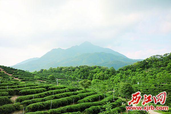 云蒸雾绕大稠顶。 西江日报记者 刘春林 摄