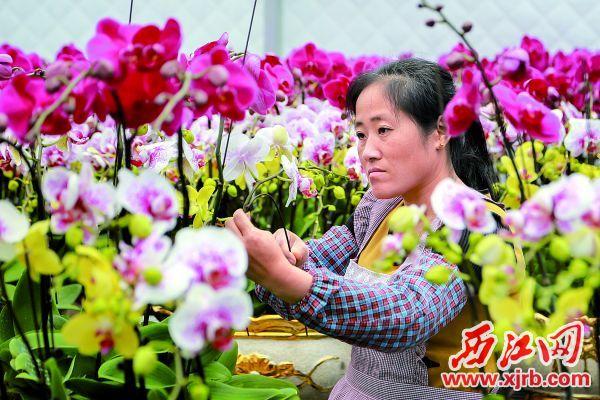 种植户在护理兰花。 受访单位供图