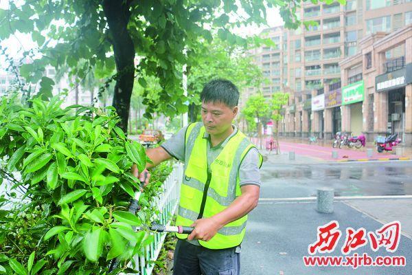 園林工人梁志雄在修剪灌木。 西江日報記者 嚴炯明 攝
