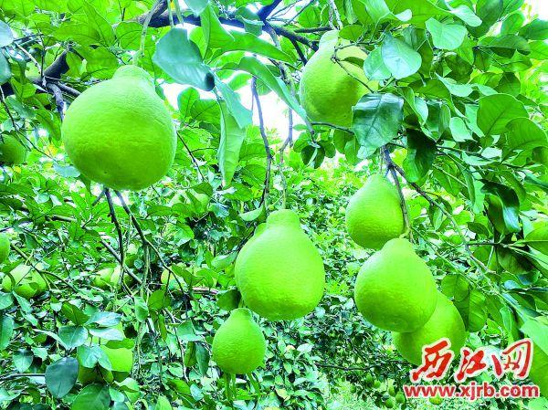蜜柚壓枝頭,清香陣陣飄。西江日報記者 劉浩輝 攝