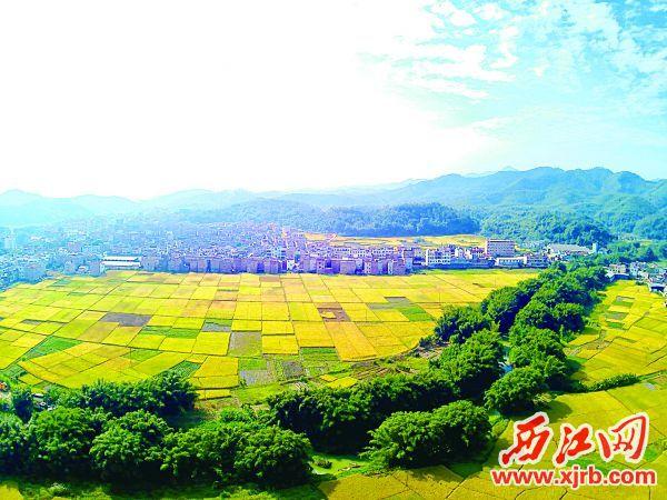 在高要區樂城鎮鄉村,金黃色的稻田呈現醉人的景象。