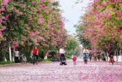 粉色紫荆花海已包围肇庆!来看这座城市最美模样…