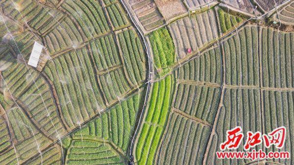 """俯瞰仙人坑村""""河乐水""""山坑菜种植示范基地 杨乐祺摄"""